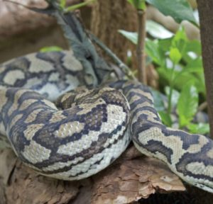 the-living-rainforest-carpet-python