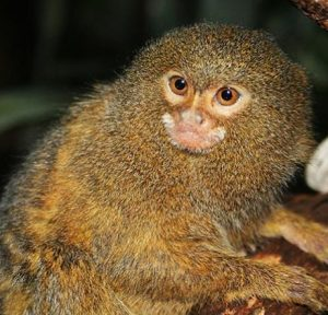 the-living-rainforest-marmosets