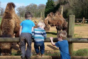 Cotswold Wildlife park camels