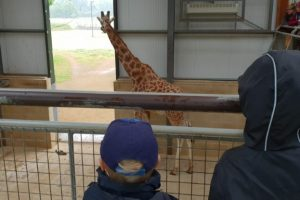 Cotswold Wildlife park giraffe